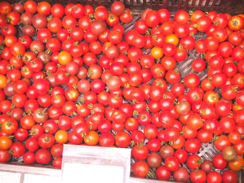 グレイスファームの有機トマト