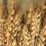 小麦(グルテンフリーイメージ)