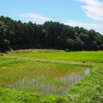 有機無農薬の田んぼと森