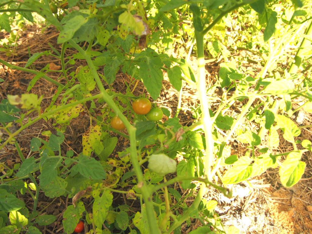 無農薬自然栽培のトマト