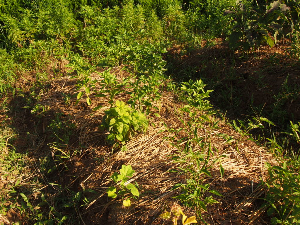 無農薬自然栽培の野菜