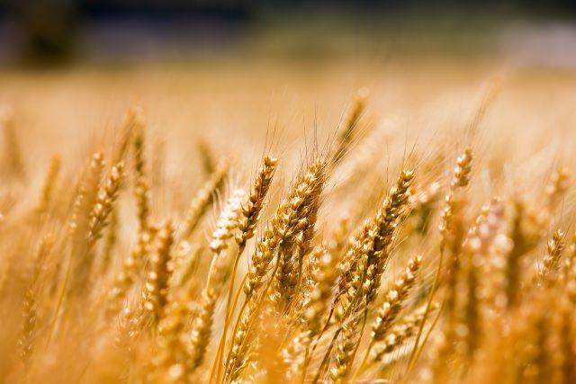 麦(遺伝子組み換え作物イメージ)