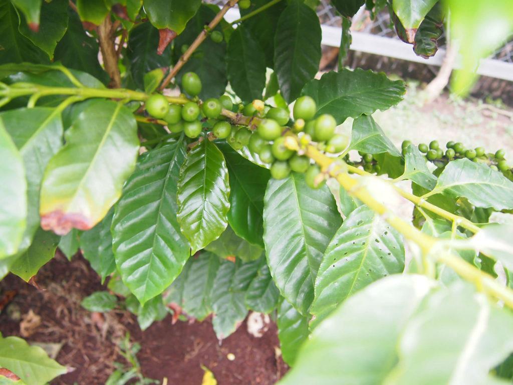 コーヒーの木のコーヒー豆
