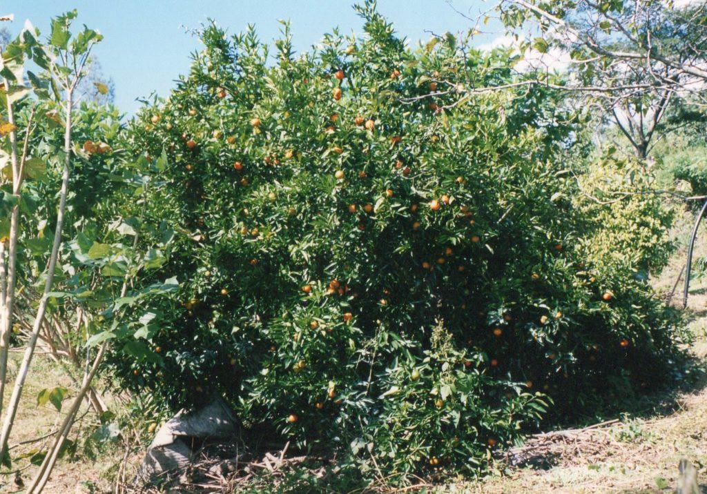マンドリンの木
