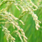 稲(種子法とはなに?廃止の理由は?少しだけ分かりやすくまとめました!)